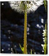 Mountain Dandelion Acrylic Print