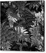 Mountain Ferns 1 Acrylic Print by Roger Snyder
