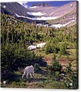 Mountain Goat 5 Acrylic Print