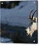 Mountain Goat Glacier National Park Acrylic Print