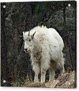Mountain Goat Kid Acrylic Print