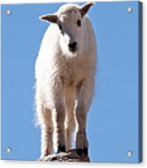 Mountain Goat Kid On Mount Evans Acrylic Print