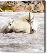 Mountain Goat Mother And Baby Acrylic Print