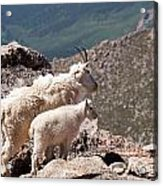 Mountain Goat Nanny And Kid Enloying The View On Mount Evans Acrylic Print