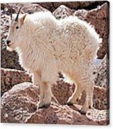 Mountain Goat On Mount Evans Acrylic Print
