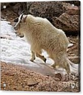 Mountain Goat On Snowfield On Mount Evans Acrylic Print