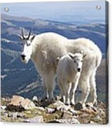 Mountain Goats - Quandary Peak Acrylic Print