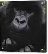 Mountain Gorilla Juvenile Portrait Acrylic Print