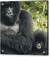 Mountain Gorilla Mother And Baby Acrylic Print