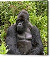 Mountain Gorilla Silverback Acrylic Print