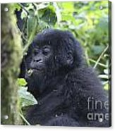 Mountain Gorillas Acrylic Print
