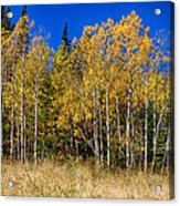 Mountain Grasses Autumn Aspens In Deep Blue Sky Acrylic Print