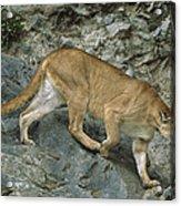 Mountain Lion Crossing Rocky Terrain Acrylic Print