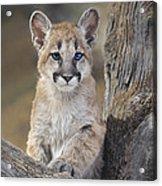 Mountain Lion Cub Acrylic Print