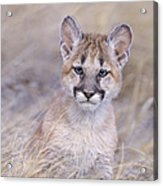 Mountain Lion Cub In Dry Grass Acrylic Print