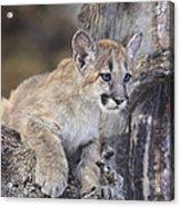 Mountain Lion Cub On Tree Branch Acrylic Print
