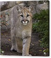 Mountain Lion Cub Walking Acrylic Print