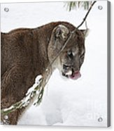 Mountain Lion In A Snow Covered Pine Forest Acrylic Print