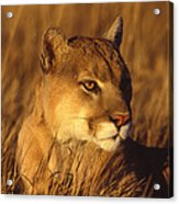 Mountain Lion Montana Acrylic Print