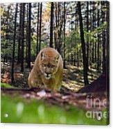 Mountain Lion Stalking Acrylic Print