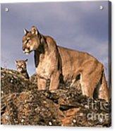 Mountain Lions Felis Concolor Acrylic Print