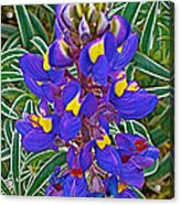 Mountain Lupine In Ancient Incan Pisac In Andes Mountains Above Sacred Valley-peru   Acrylic Print