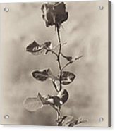 Mountain Rose Acrylic Print