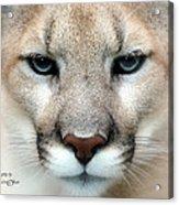 Mountian Lion Acrylic Print