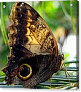 Mournful Owl Butterfly In Sunlight Acrylic Print