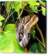 Mournful Owl Butterfly Wings Acrylic Print