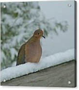 Mourning Dove After The Snowfall Acrylic Print