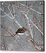 Mourning Dove Asleep In Snowfall Acrylic Print