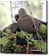 Mourning Dove Feeding Baby Dove Acrylic Print