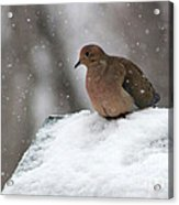 Mourning Dove In Snow Acrylic Print
