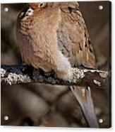 Mourning Dove Pictures 32 Acrylic Print