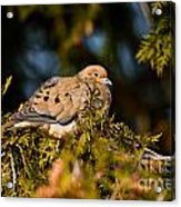 Mourning Dove Pictures 64 Acrylic Print