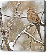 Mourning Dove Pictures 68 Acrylic Print