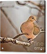 Mourning Dove Pictures 71 Acrylic Print