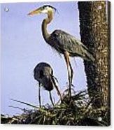 Mr. And Mrs. Heron Acrylic Print