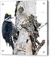 Mr. Black-bscked Woodpecker Acrylic Print