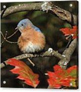 Mr Bluebird Acrylic Print
