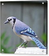 Mr. Bluejay Acrylic Print by Stefon Marc Brown