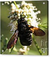 Mr. Bumble Acrylic Print