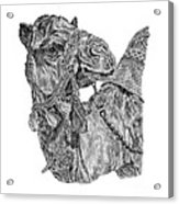Mr Camel Acrylic Print