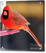Mr. Cardinal Acrylic Print