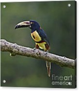 Mr. Colorful.. Acrylic Print