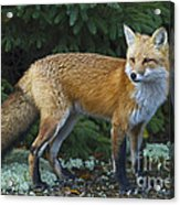 Mr. Fairy Tale.. Acrylic Print