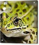 Mr. Froggy Acrylic Print