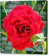 Mr Lincoln Rose Acrylic Print