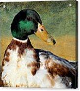 Mr Mallard Acrylic Print